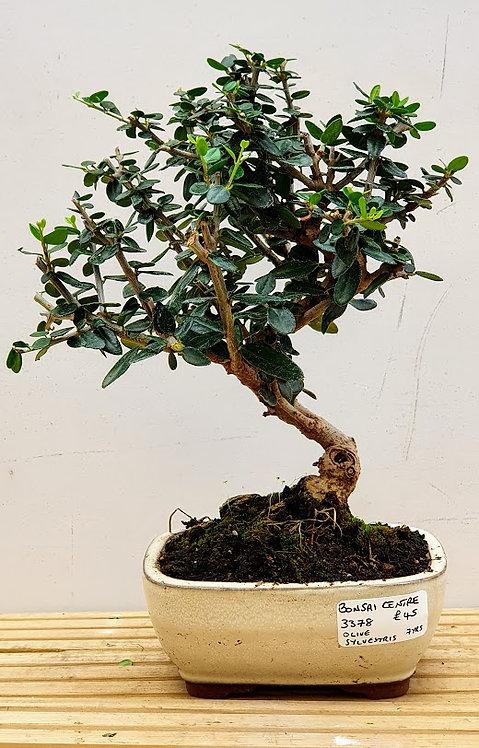 3378 Olive sylvestris