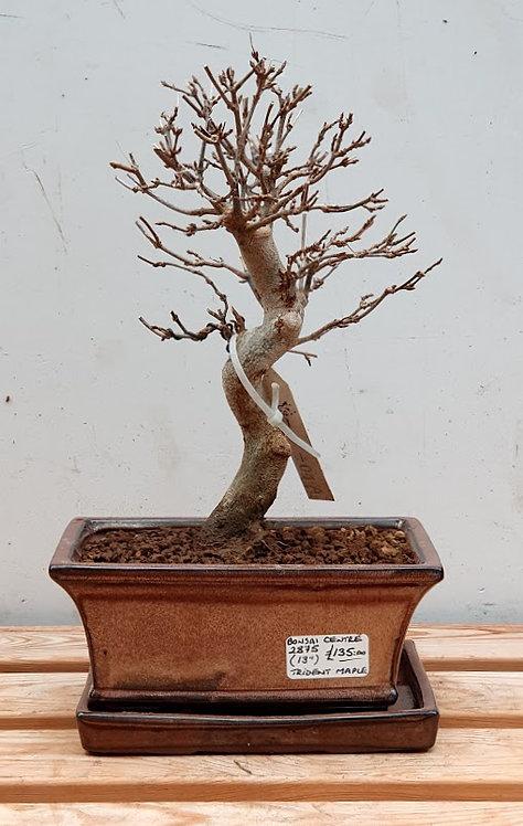 2875 Trident Maple