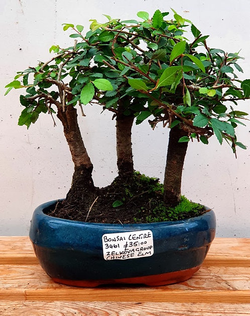 3461 Chinese Elm group