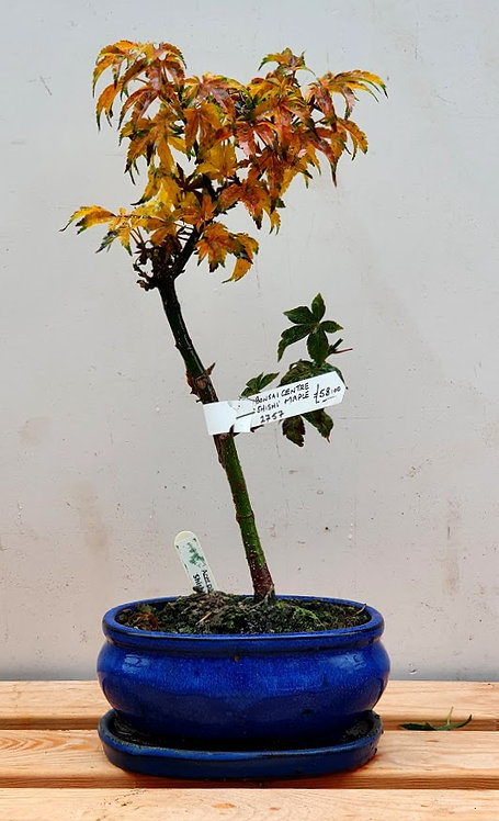 2757 Shishigashira Maple
