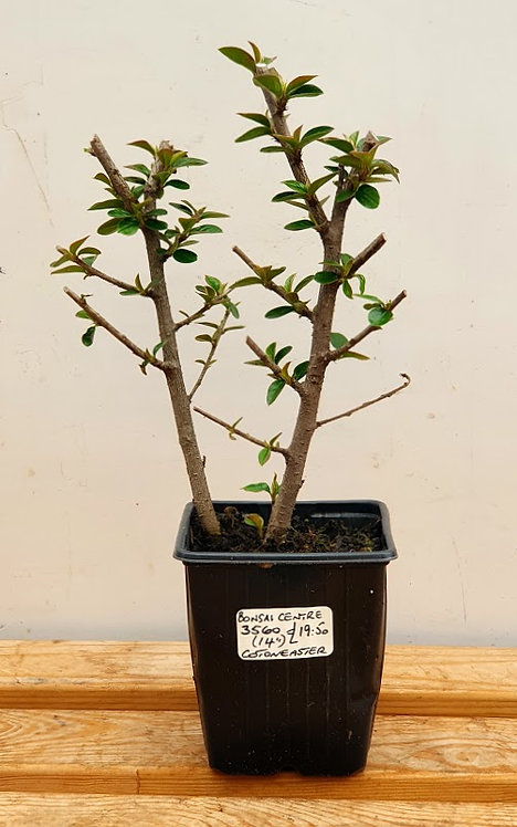 3560 Cotoneaster