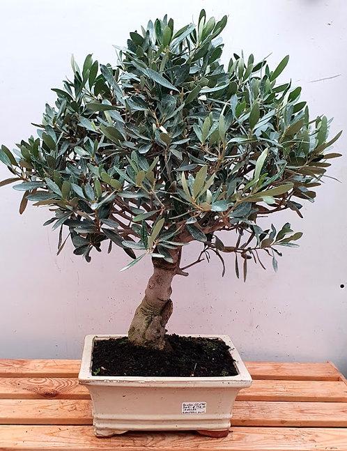 3451 European Olive