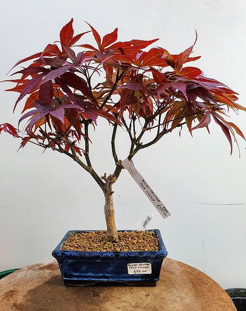 1903 Maple