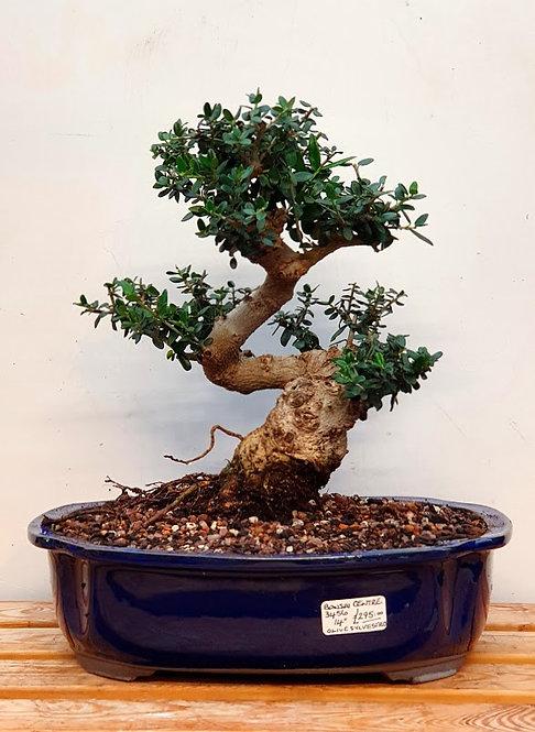 3456 Olive sylvestris