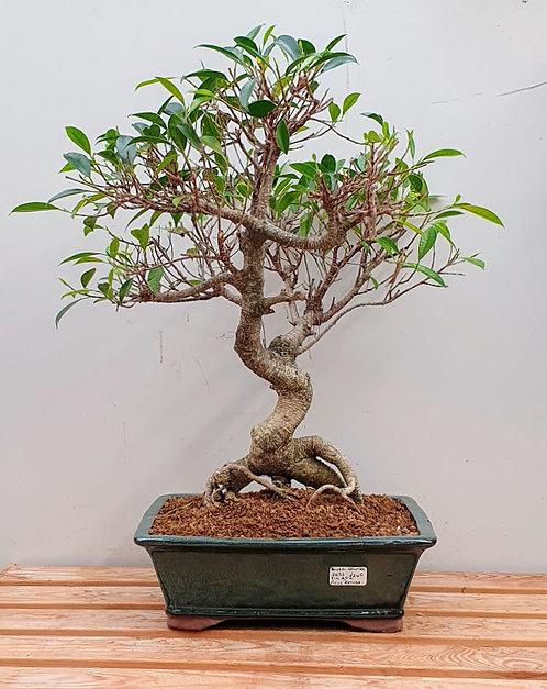 3632 Ficus retusa