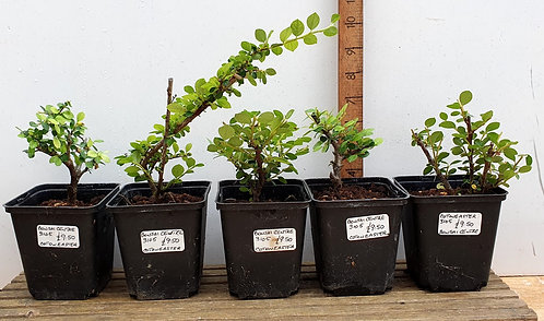 3105 Cotoneaster