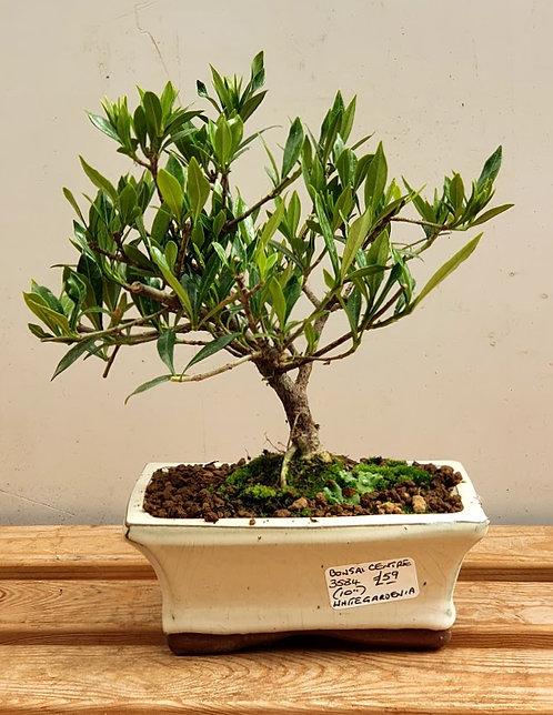3584 Gardenia