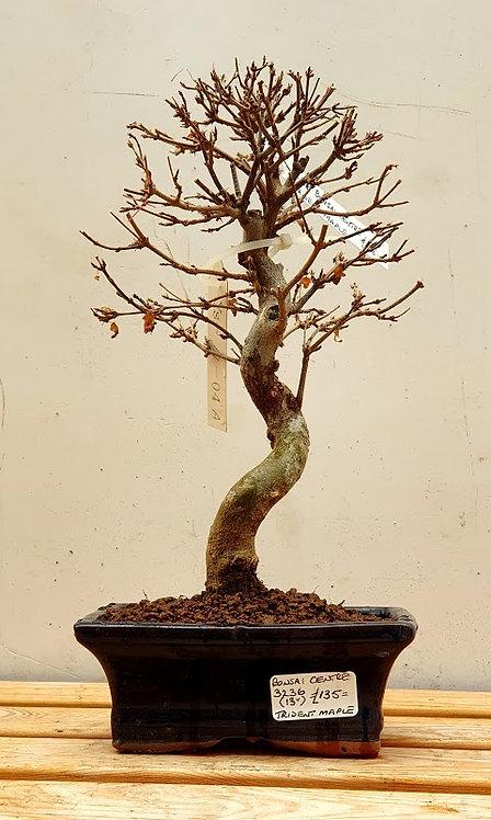 3236 Trident Maple