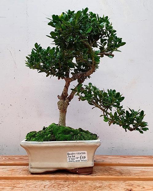 3438 Ilex (Japanese Holly)