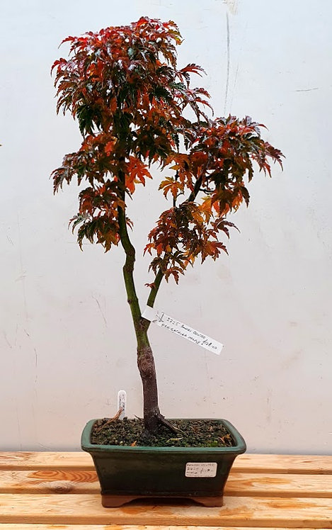 2725 Shishigashira Maple