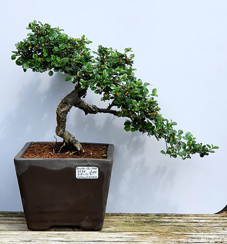 3578 Cotoneaster