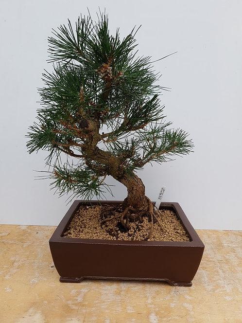 2264 Black Pine