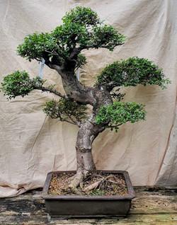 3537 Chinese Elm