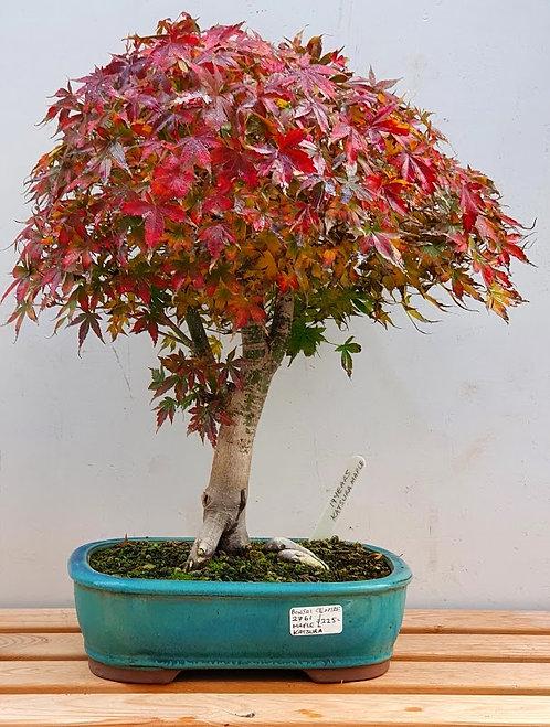 2761 Katsura Maple
