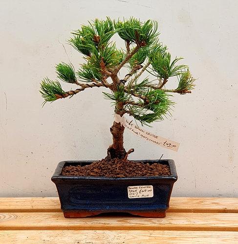"""3045 White Pine """"Hatsumari"""""""