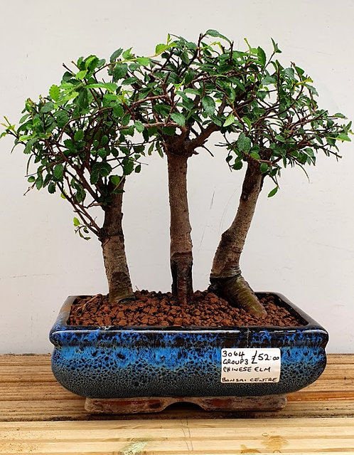 3064 Chinese Elm Group