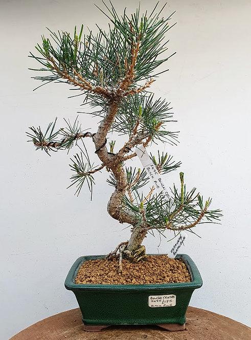 2475 Black Pine