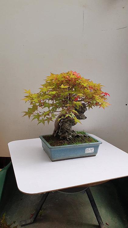 3596 Deshojo Maple with Rock