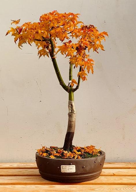 3098 Shishigashira Maple