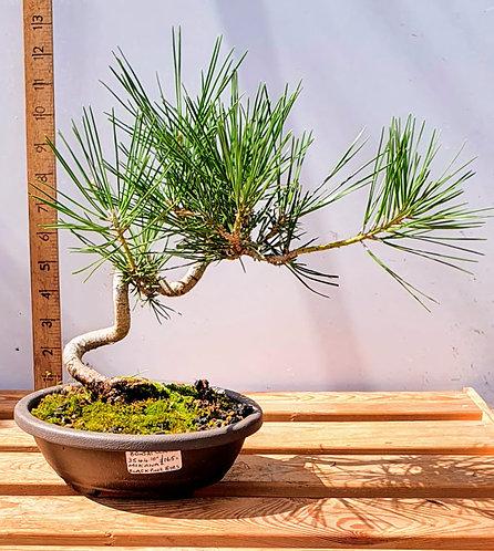 3544 Black Pine 'Mikawa'