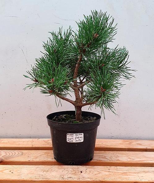 3037 Scots Pine