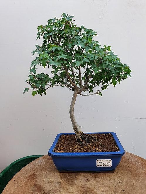 2915 Trident Maple