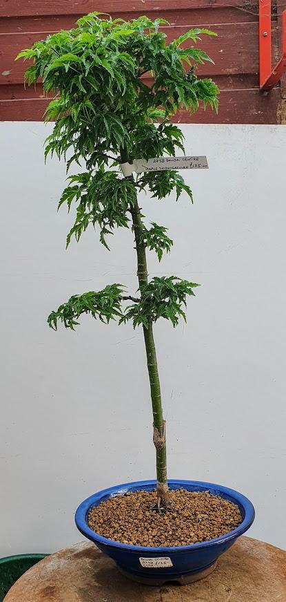 2758 Shishigashira Maple