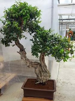 2299 Cork Bark Oak (Quercus Suber Oak)