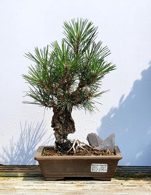 2793 Corticosa Black Pine