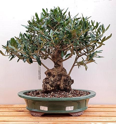 3457 European Olive