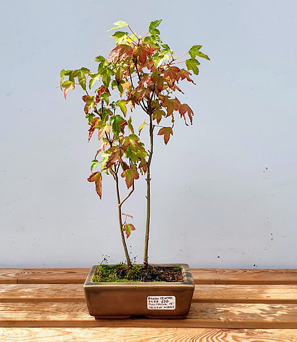 3588 Trident Maple