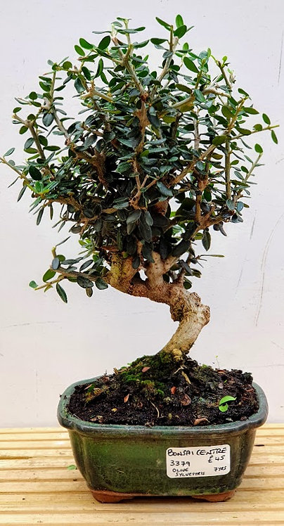 3379 Olive sylvestris