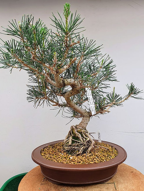 2759 Black Pine