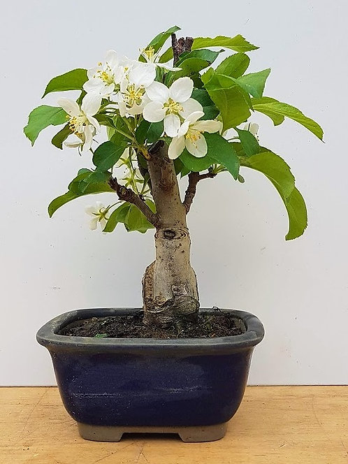 2591 Shohin Crab Apple
