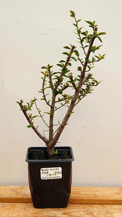3559 Cotoneaster