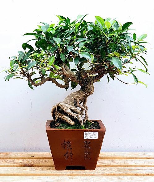 3633 Ficus retusa