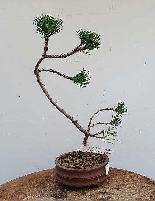 3043 Mugho Pine