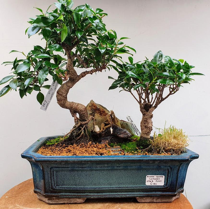 2943 Ficus
