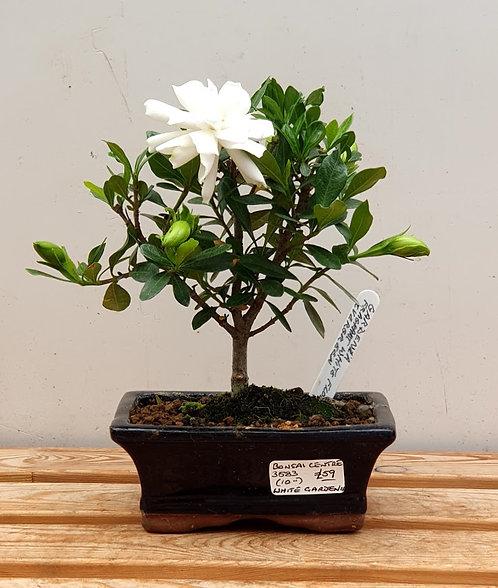 3583 Gardenia