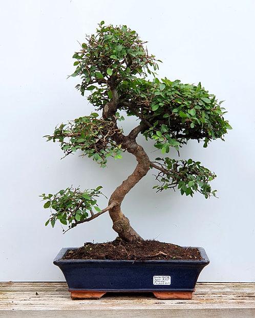 3620 Chinese Elm