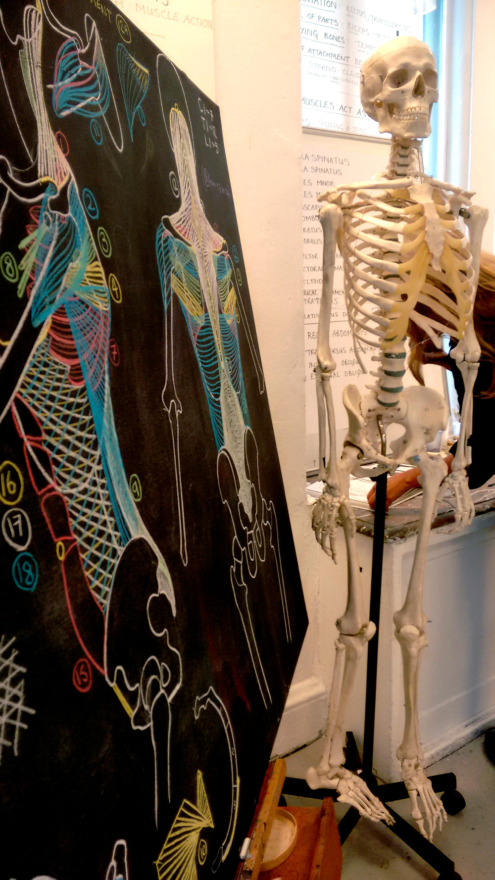 Anatomical illustration at the Ruskin
