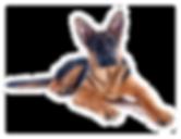 Aluguel de Cão de Guarda Locação de Cães de Guarda  Segurança com Cachorro Adestramento CÃO DE GUARDA BH K9MG  CANIL CÃO POLICIAL @caodeguarda @canilcaodeguarda