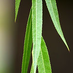 willow_leaves_full.jpg