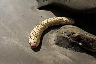 砂のついたなまこ