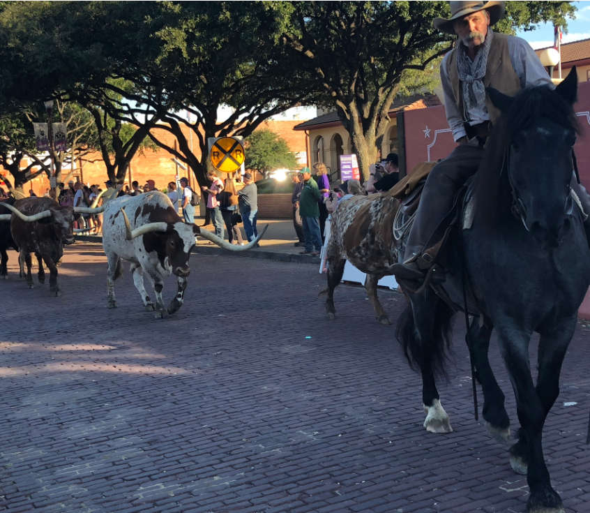 Longhorn steers Fort Worth
