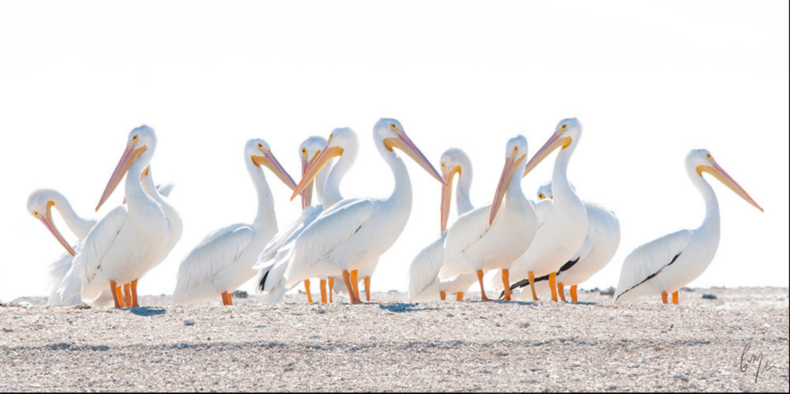 White Pelicans on Duck Road