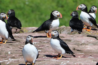 IMG_3053 puffins cropped 2.jpg