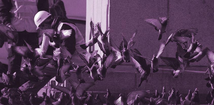 purple-pigeons.jpg