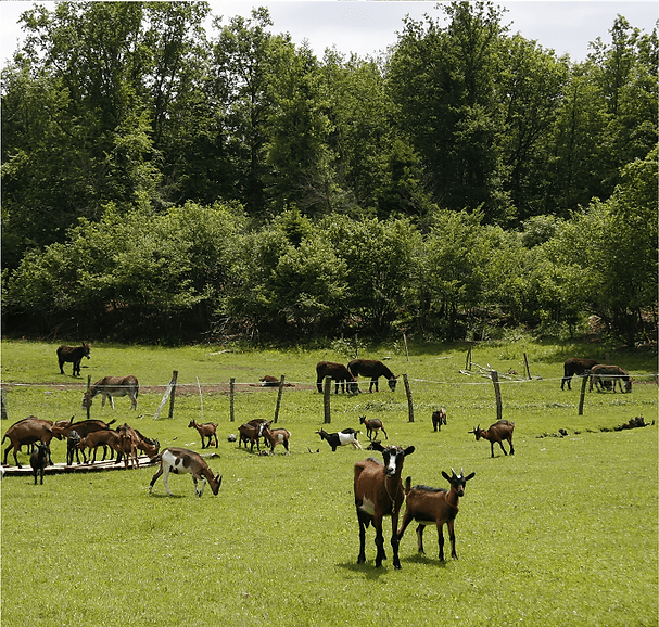 Geiten, ezels, boerderij, moulin begeot, alpine, weiland