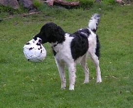 Hond, Friese Stabij, Wetterhoun, spelen, bal